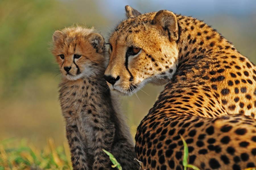 Maman guépard avec son petit