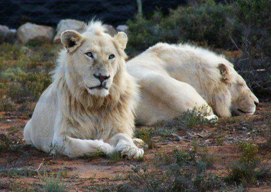 A Reserva de Animais de Sanbona é famosa por sua população de leões brancos