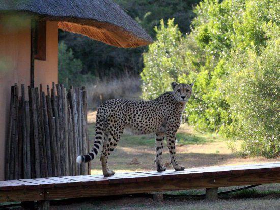 Gepard besucht eine Lodge im Amakhala Game Reserve