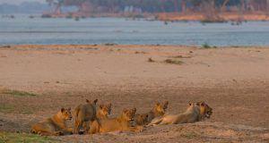 Lions dans le Parc National du Zambèze, à proximité des Chutes Victoria