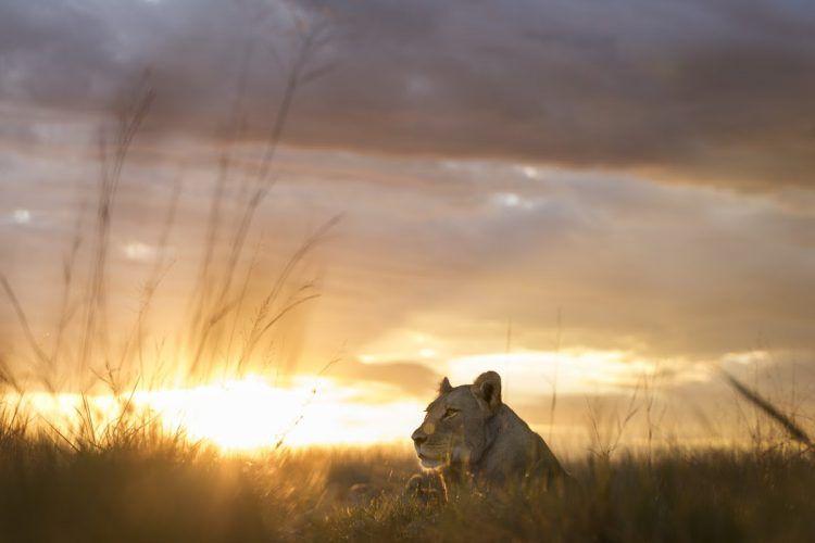 Lion au coucher de soleil dans le parc national de Hwange au Zimbabwe