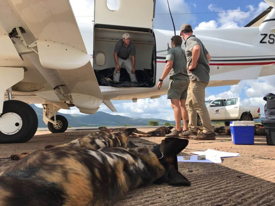 Wildlife ACT relocating wild dogs to a safe nature reserve in Africa
