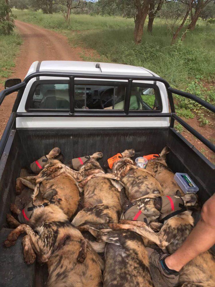 Opération de sauvetage de chiens sauvages d'Afrique au Mozambique.