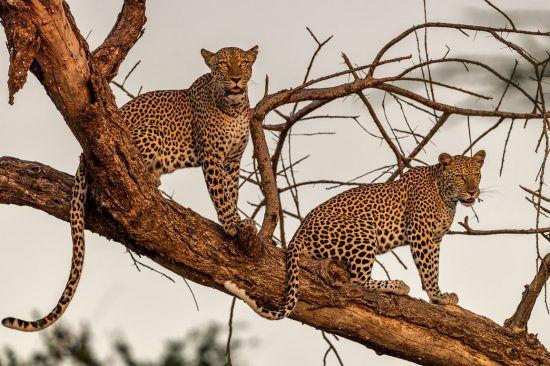 zwei leoparden sitzen auf einem Baum