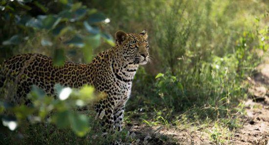 Ein Leopard im grünen Busch