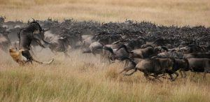Gnous en fuite lors de la grande migration, à observer lors d'un voyage au Kenya.