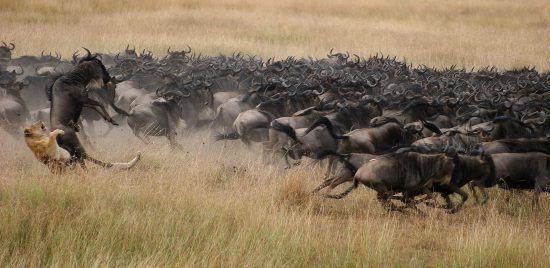 Löwin jagt Gnus bei der Großen Migration in Ostafrika