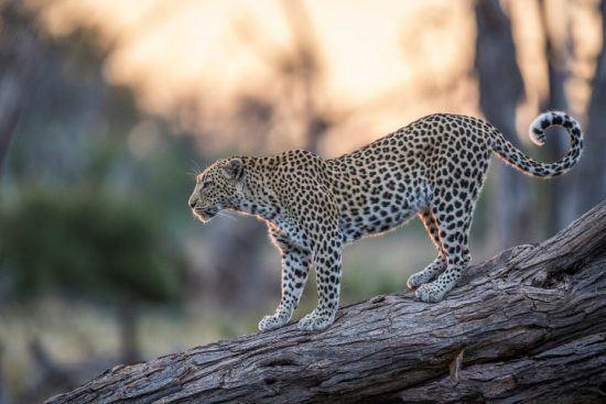 Leopard auf einem umgefallenen Baum in der Abendsonne