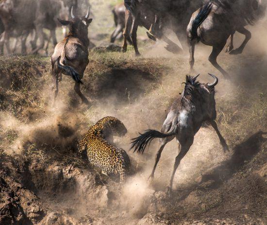 Leopard jagt Gnus bei einer Flussüberquerung