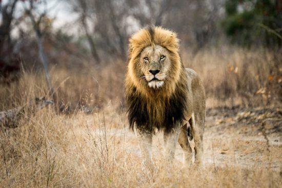Safari à Kapama, terre du lion légendaire