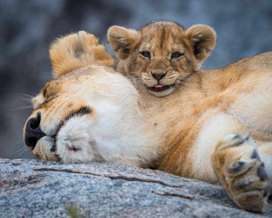 Löwenjunges blickt über den Hals seiner schlafenden Mutter in die Kamera