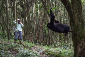 Photographe saisissant un gorille des montagnes en pleine action