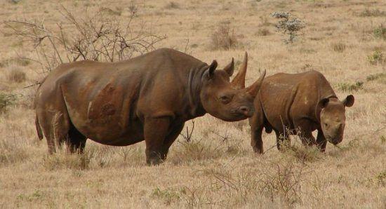 Zwei Spitzmaulnashörner in der Savanne - Schutz der Nashörner in Südafrika