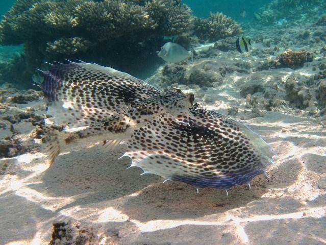 Helm-Flughahn im tropischen Gewässer des Indischen Ozeans