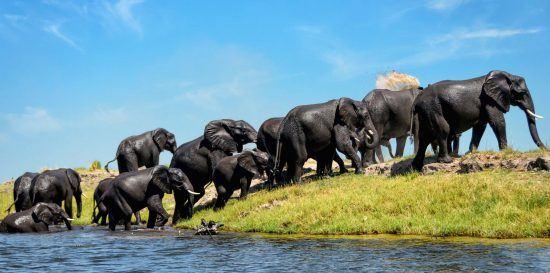 Paysages du Botswana | Troupeau d'éléphants traversant un fleuve