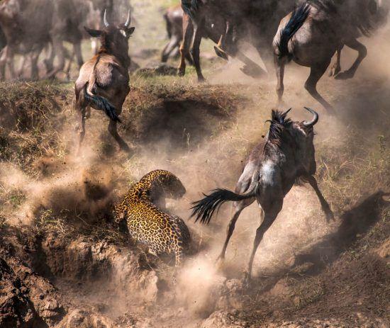Ein Leopard in einer Herde von Thomson-Gazellen