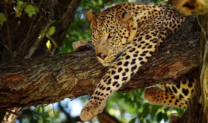 Book your safari in times of Covid-19 with Rhino Africa: Leopard in a tree in Botswana
