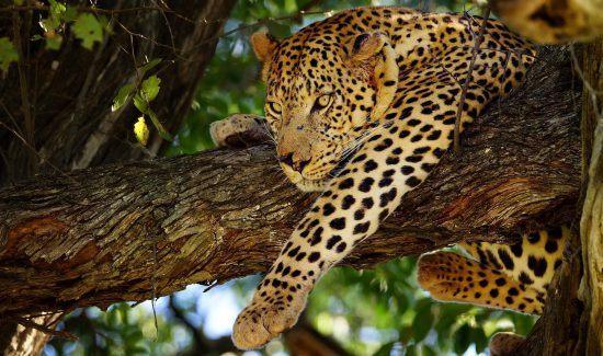 Ein Leopard in einem Baum in Botswana - Teil der besten Afrika-Touren für 2019