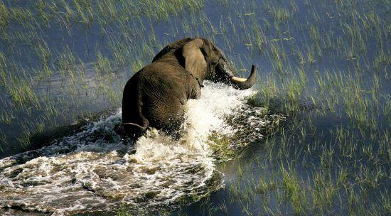 Elefant watet durchs Wasser im Okavango Delta