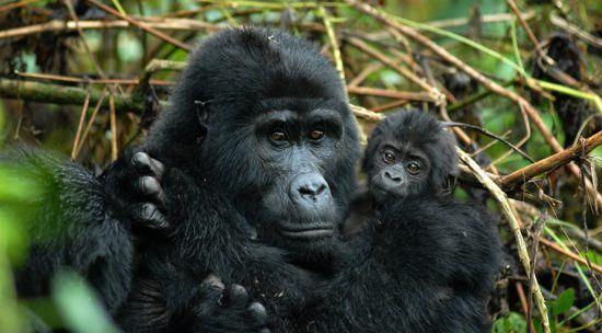 Ein Gorillajunges klammert sich an seine Mutter