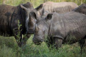animaux d'afrique : rhinocéros blancs