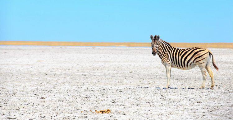 A zebra roaming the isolated Makgadikgadi Pans