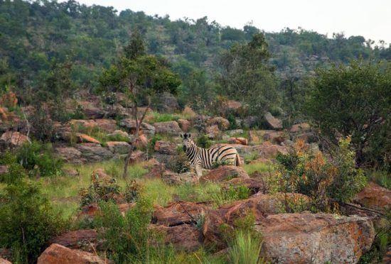 Zebra em safári em Welgevonden