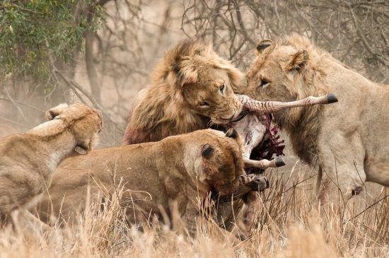 Tribu de lions tuant et dévorant un zèbre, scènes de chasse animaux sauvages