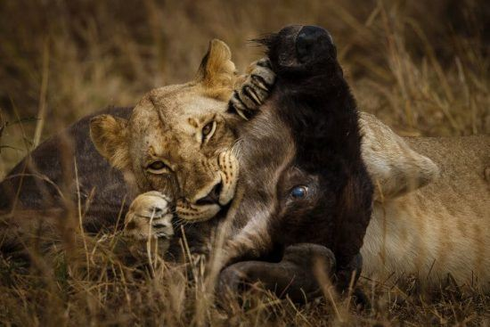 Gnuwanderung in Ostafrika: Ein Löwe mit Beute