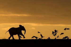 APOTY: Africa in pictures: elephant playing with birds