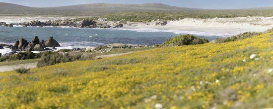 Südafrikas Westküste mit Blütenmeer direkt am Ozean