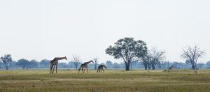 Uma bela paisagem cheia de girafas