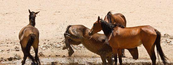 Les chevaux sauvages de Namibie près d'un point d'eau