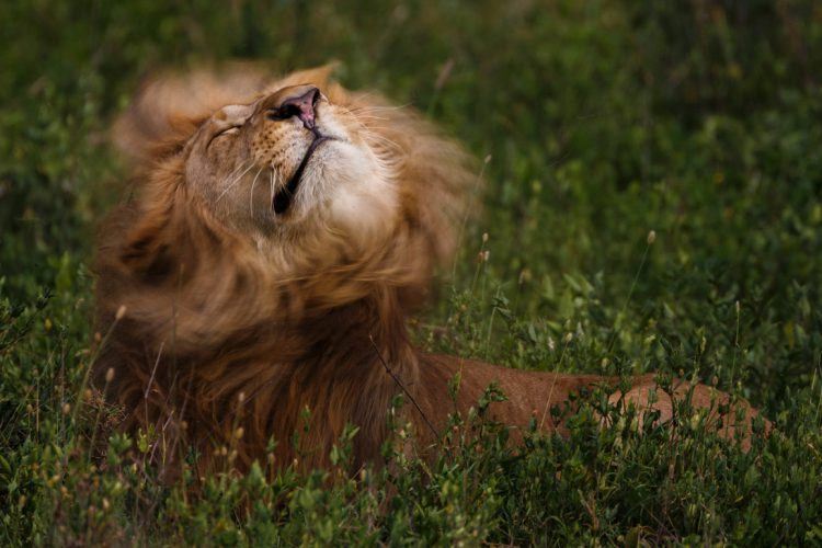 A lion shakes his mane