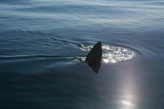 Flosse eines weißen Hais ragt aus dem Wasser - Shark Cage Diving Kapstadt