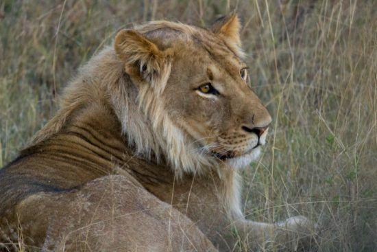 Nahaufnahme eines jungen Löwen im Hwange Nationalpark in Simbabwe