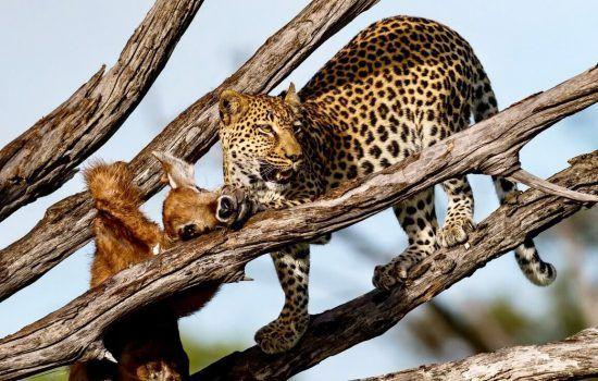 Léopard et sa proie dans un arbre en Afrique, scènes de chasses animaux sauvages