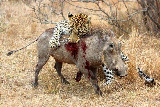 Léopard chassant un phaochère en Afrique.