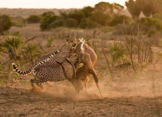 Météo du Parc Kruger | Attaque de guépards