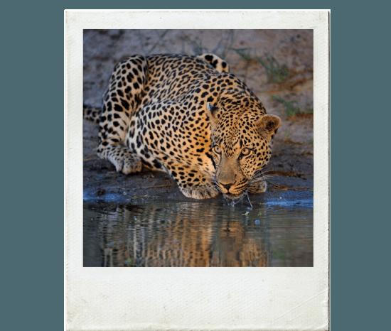 Leopardo saciando em charco na Reserva Sabi Sand