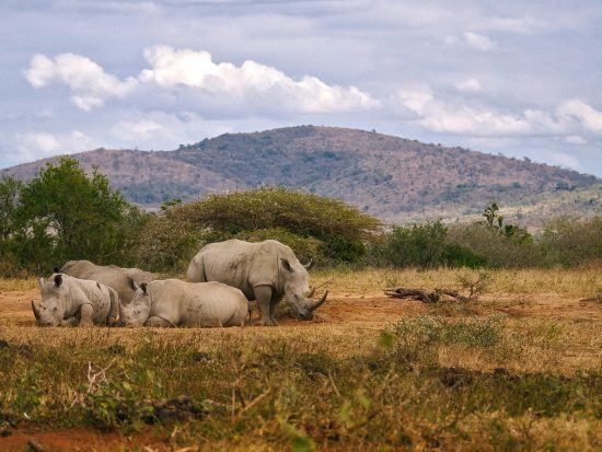 A crash of rhinos resting in Hluhluwe-iMfolozi Park