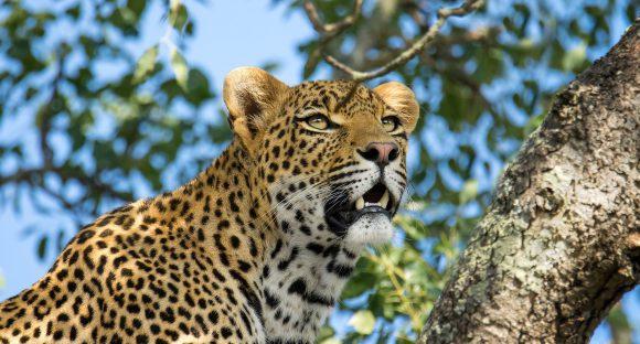 Leopard in a tree in Sabi Sand
