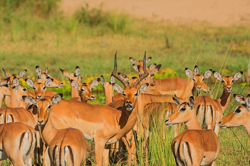 Antílopes africanos | Impalas são vistos nos arredores de Royal Zambezi Lodge, Zâmbia