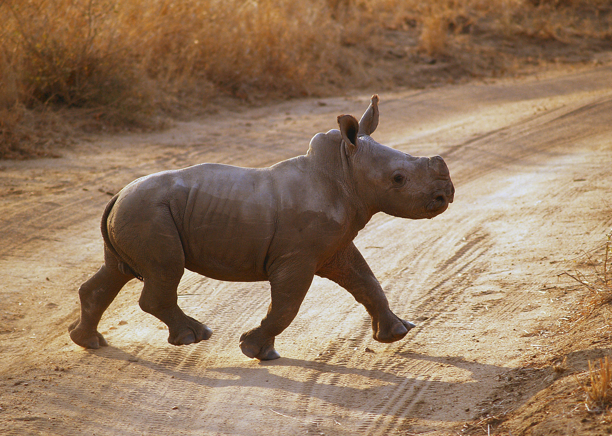 A baby rhino moseys along the Tswalu Private Game Reserve