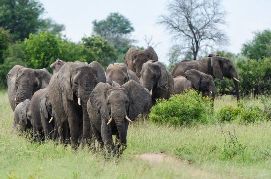 Manada de elefantes con su lento avanzar.