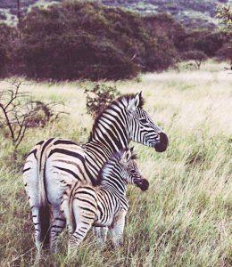 Zebras are seen in the open savannah