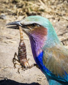 APOTY Photo: A lilac-breasted roller seen in Mala Mala Game Reserve