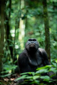Gorilla found in the forest sanctuary entered into wildlife portraits
