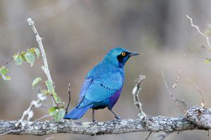 A cape glossy starling sits on a branch entered into wildlife portraits