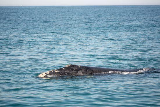 Característica marcante da baleia-franca-austral são suas calosidades na cabeça